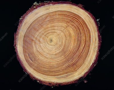 Growth rings of Larch tree