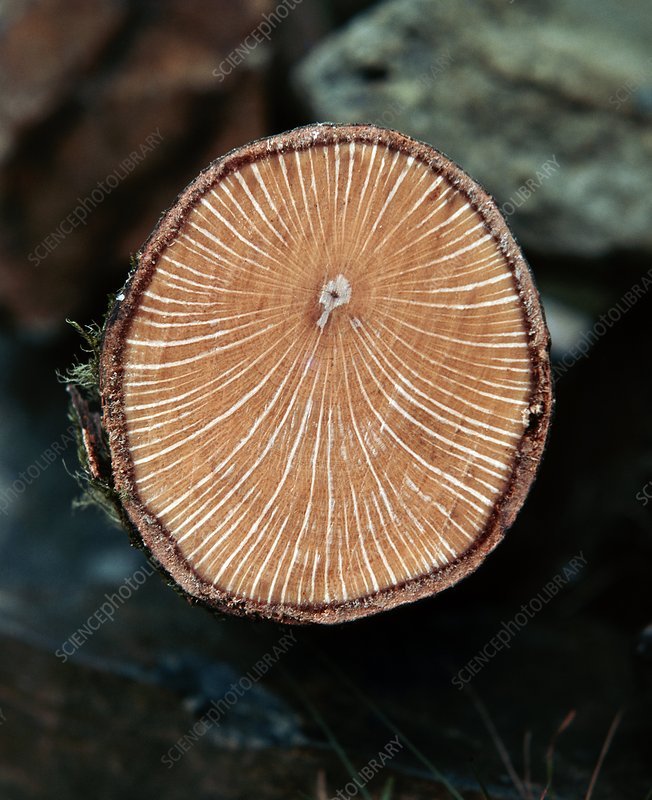 Growth rings of Evergreen Oak tree