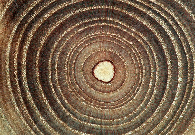 Growth rings of a tree