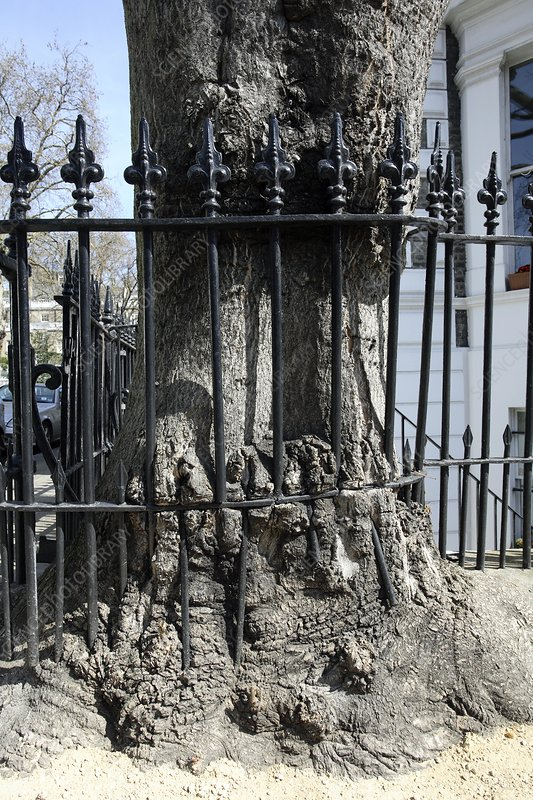 Tree growing into railings