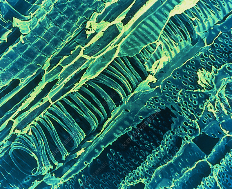 Spirally thickened xylem tubes
