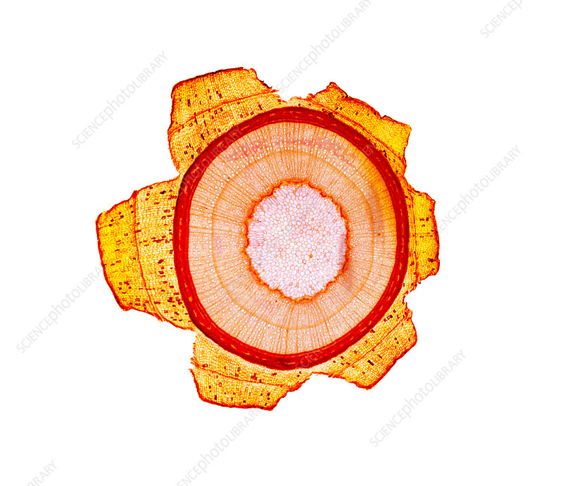 Maple stem, light micrograph