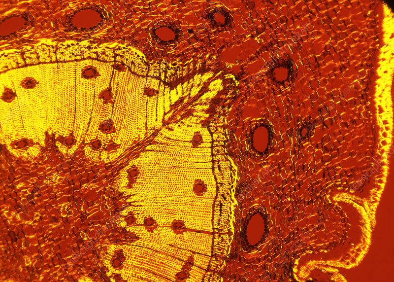 Scots pine tree stem, light micrograph