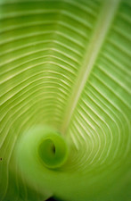 spirally-coiled leaf of banana plant