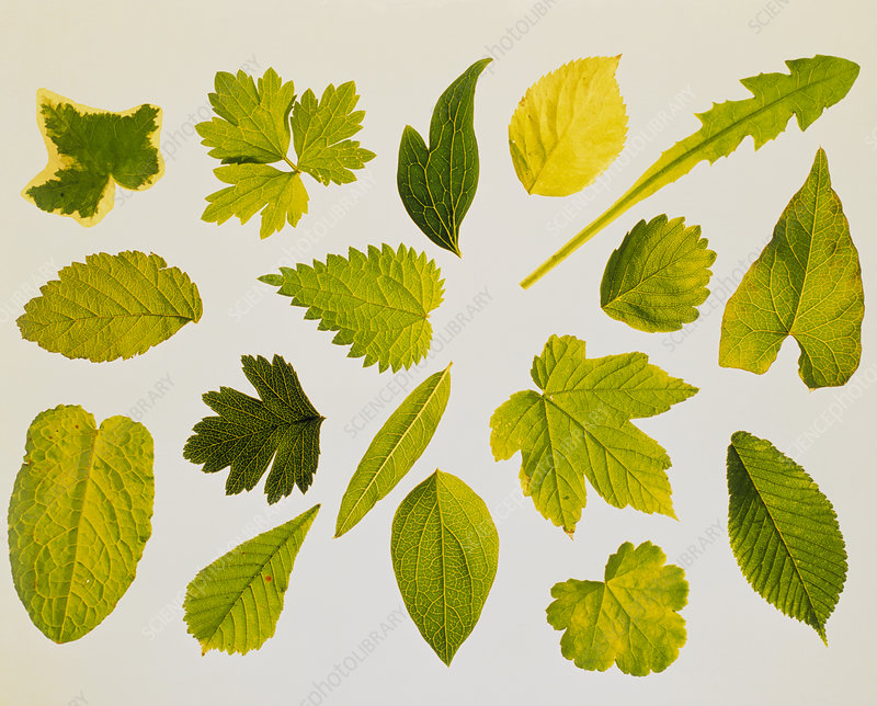 Collection of leaf types
