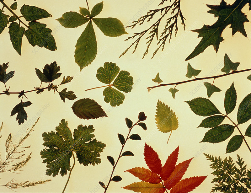 Collection of leaf shapes