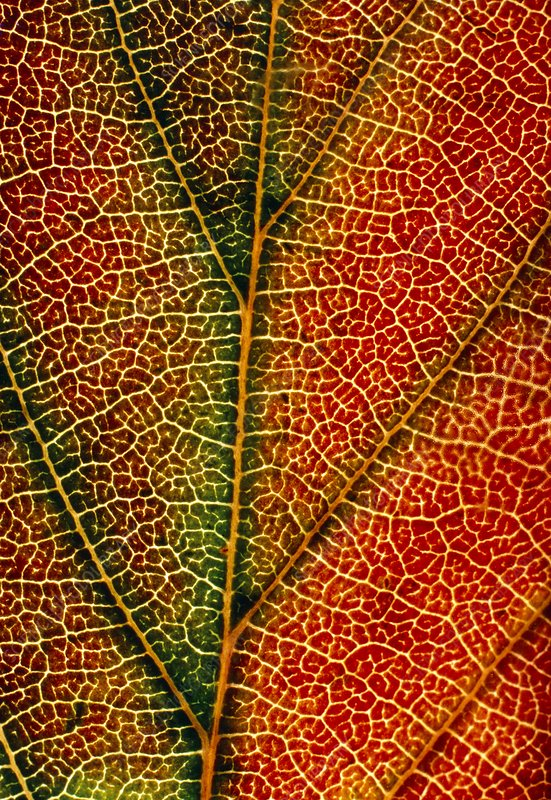 Veins of Morello cherry leaf