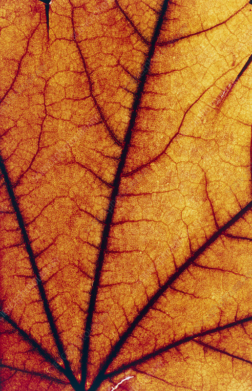 Close-up of the veins in an autumn leaf