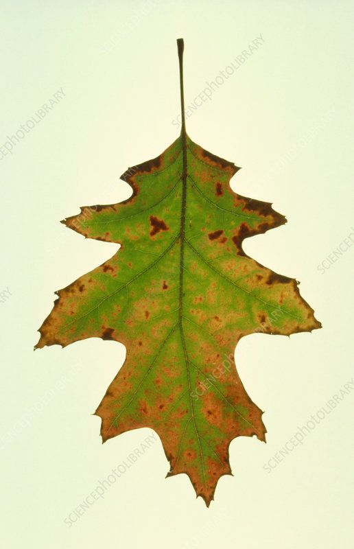 Red oak leaf changing autumn colours