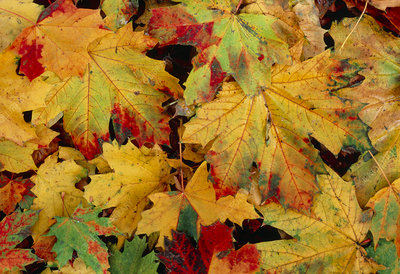 Autumnal leaves on forest floor