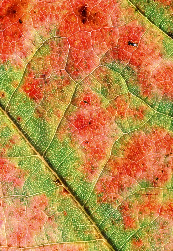 Leaf of Red oak in autumn colour