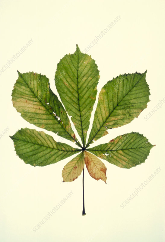 Horse Chestnut leaf in autumn colour