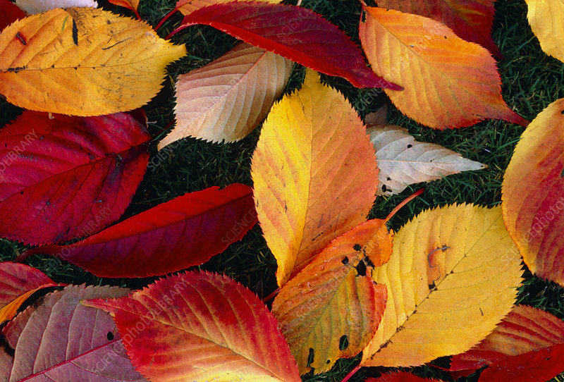 Fallen leaves of Prunus tree