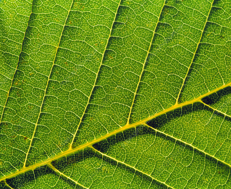 Veins in horse chestnut leaf