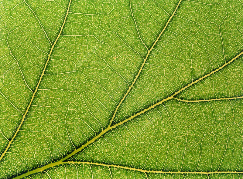 Macrophoto of veins in a lime tree