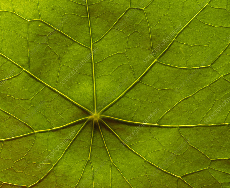 Macrophoto of veins in a nasturtium leaf