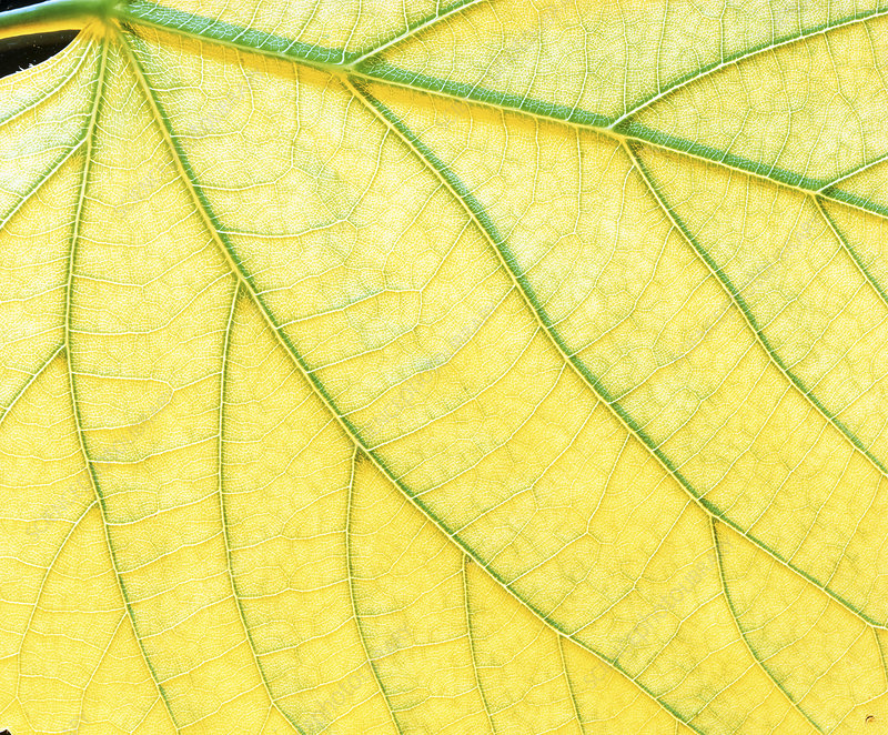 Veins in a lady's mantle leaf