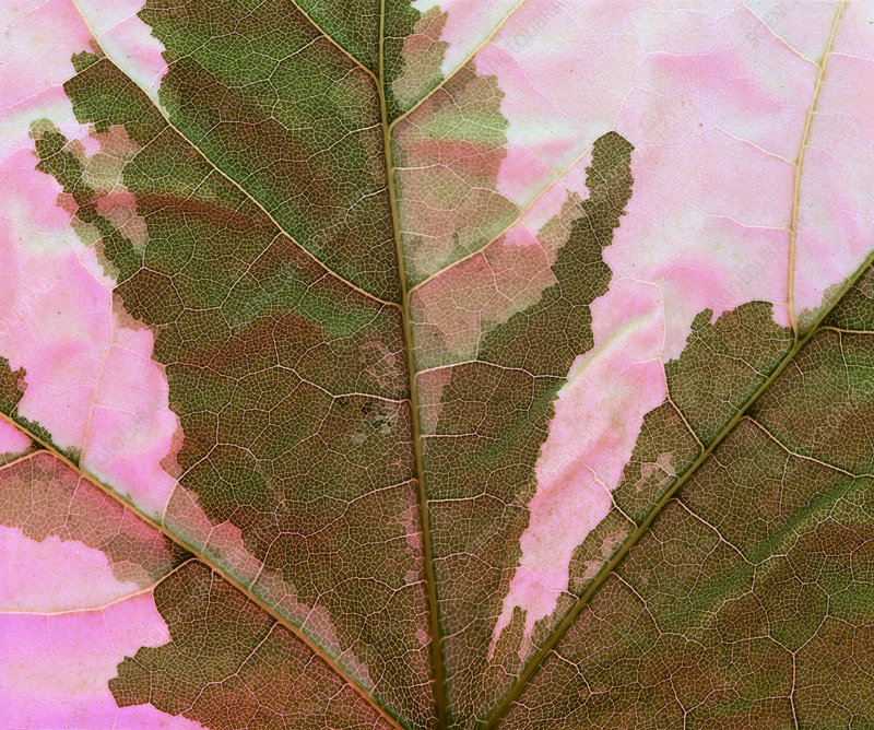 Dying leaf showing loss of chlorophyll