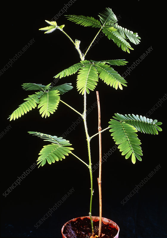 Sensitive plant with leaves open