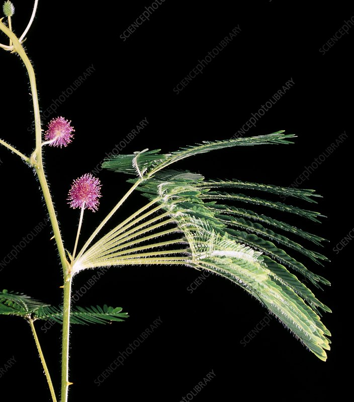 Time-lapse of sensitive plant leaves
