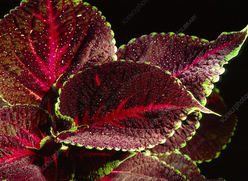 Close-up of the leaves of a Coleus sp.
