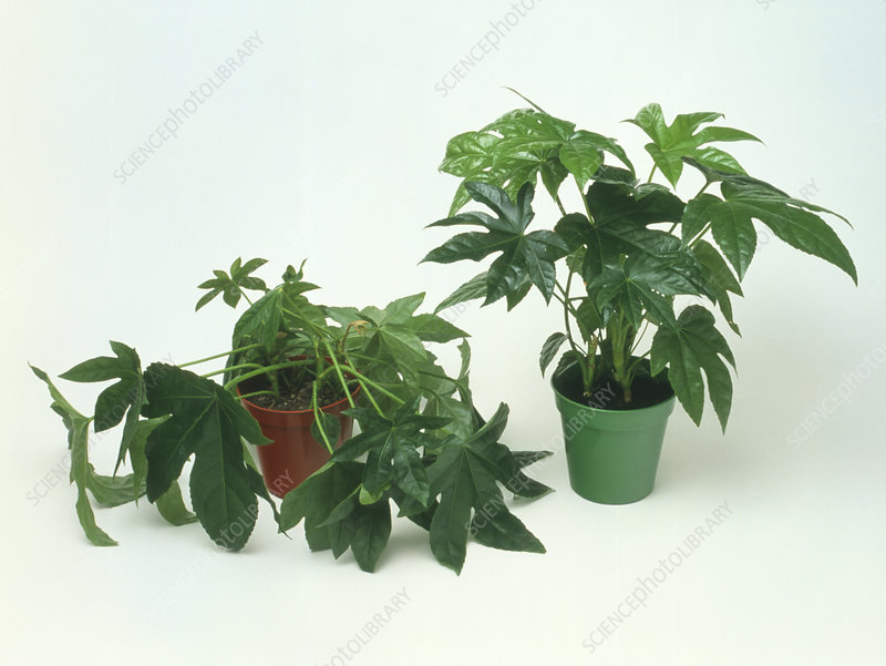 Castor oil plant wilting due to water stress