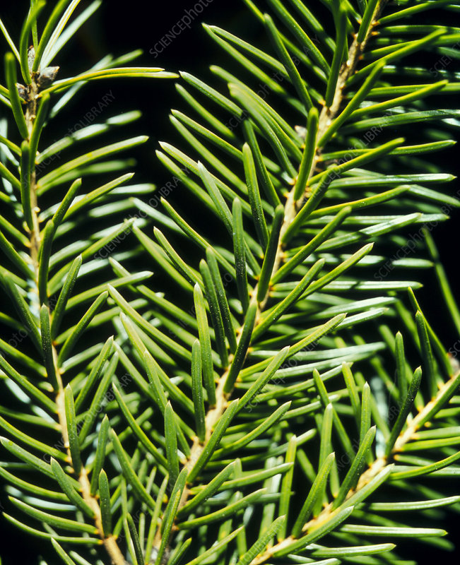 Close-up of the leaves of the spruce tree