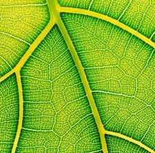 Veins in a fig leaf, Ficus lyrata