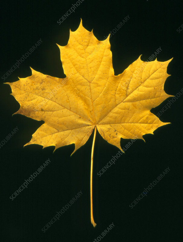 Autumn colour in a maple leaf