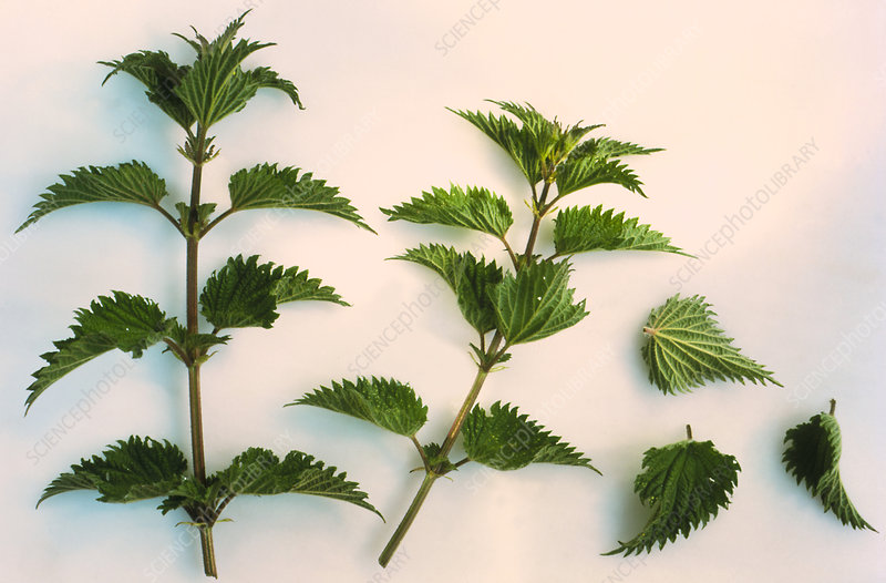 Leaves of the stinging nettle