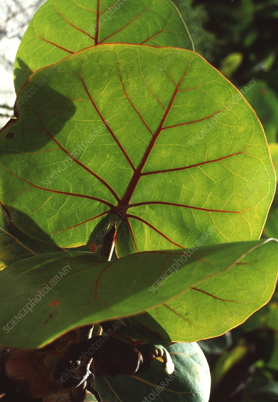 Seagrape leaves