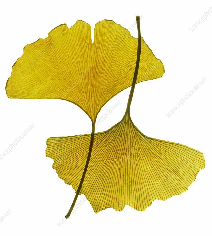 Autumnal ginkgo leaves