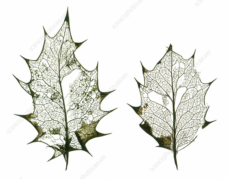 Holly leaf skeletons
