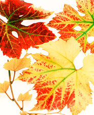 Autumnal vine leaves