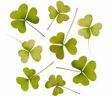 Wood sorrel leaves