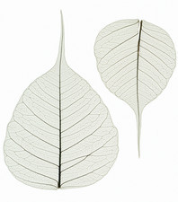 Lime leaf skeletons