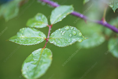 Water drops on rose leaves
