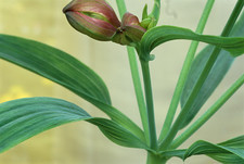 Peruvian Lily leaves