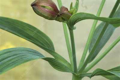 Peruvianlily Flowers on Peruvian Lily Leaves   Stock Image B740 0397   Science Photo Library