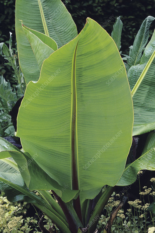 Giant wild banana leaves