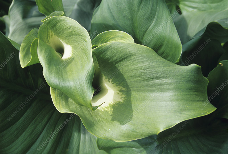 Common arum lily leaves