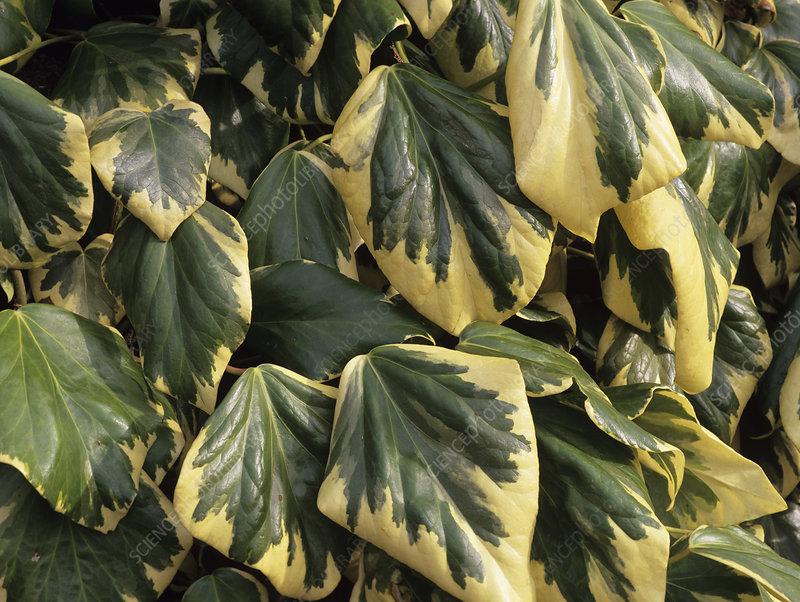Persian ivy leaves