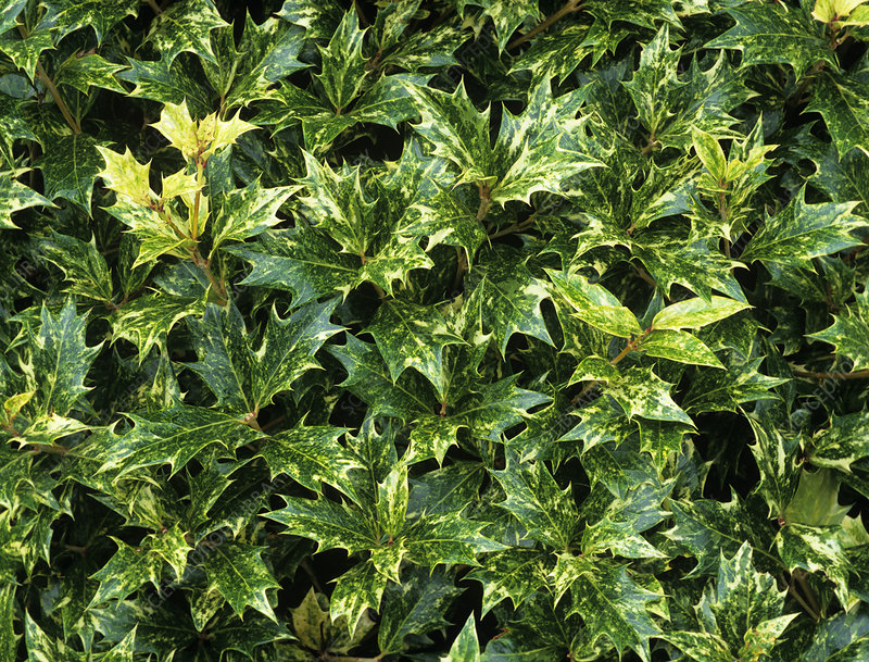False holly leaves (Osmanthus 'Goshiki')