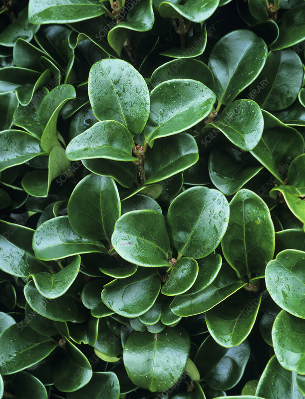 Privet leaves (Ligustrum 'Rotundifolium')