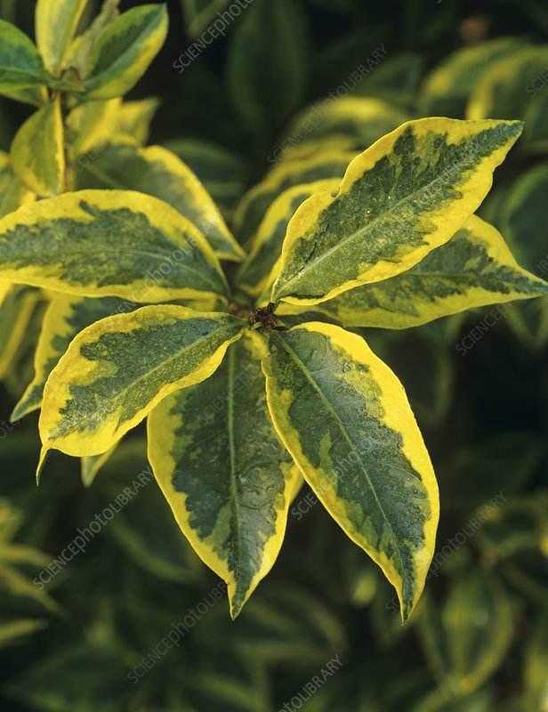 Golden privet leaves (Ligustrum sp.)