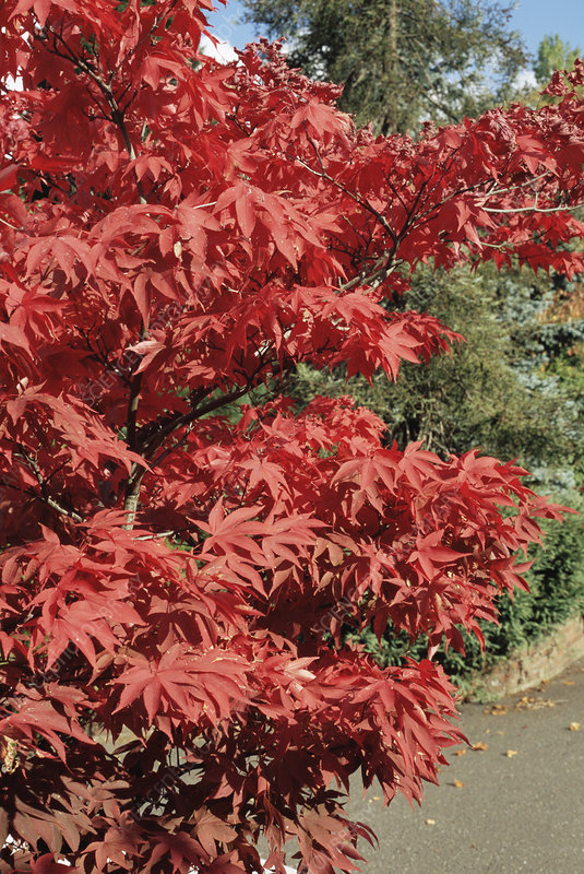 Japanese maple 'Osakazuki' foliage