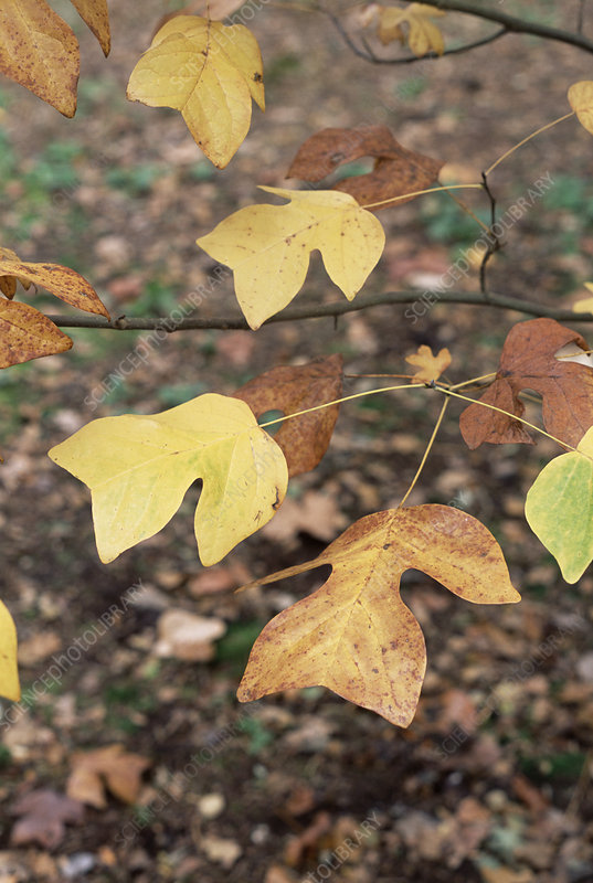 Chinese tulip tree (Liriodendron sp.)