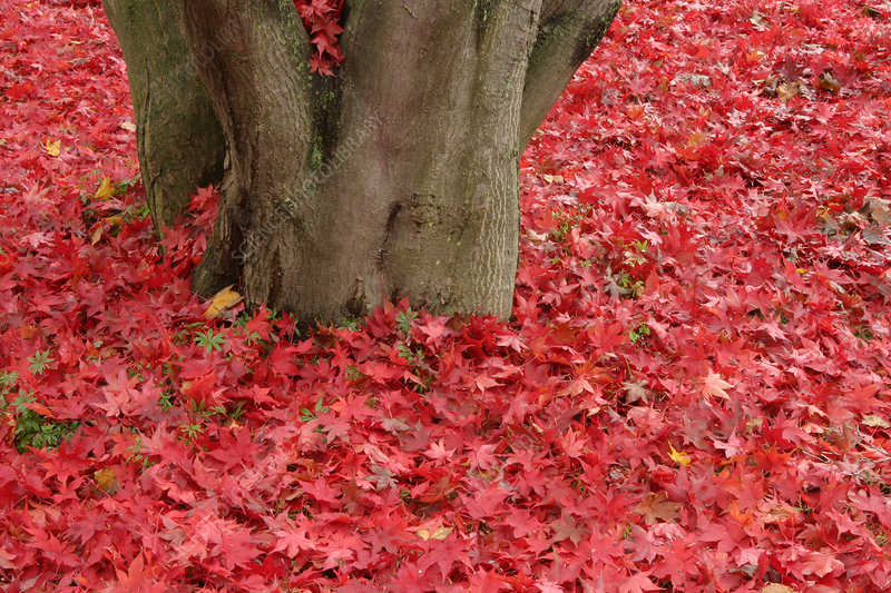 Japanese Red Maple Leaves