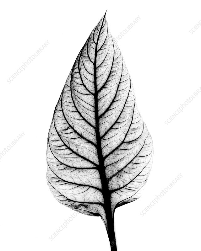 X-ray of Celosia leaf