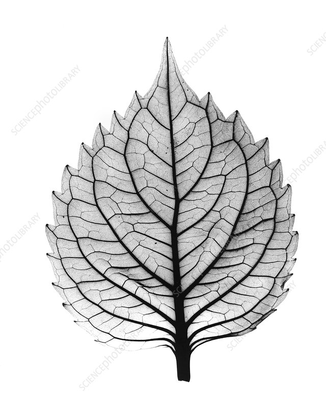 X-ray of Coleus leaf